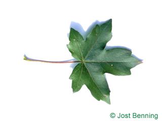The дольчатый leaf of Клен полевой