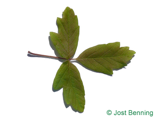 The сложный leaf of Клен серый