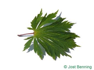 The дольчатый leaf of Клен японский 'аконтифол'