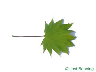 The дольчатый leaf of Клен японский