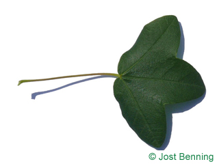 The дольчатый leaf of Клен трехлопастный