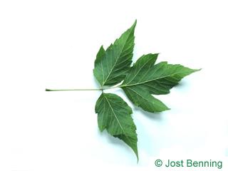 The сложный leaf of Клен ясенелистный