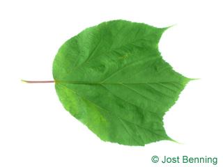 The дольчатый leaf of Клен пенсильванский