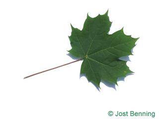 The дольчатый leaf of Клен остролистный