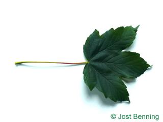 The дольчатый leaf of Клен псевдоплатановый