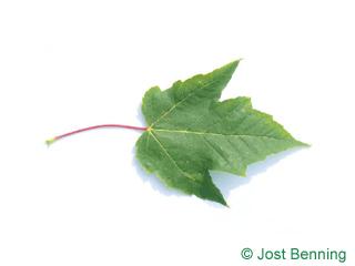 The дольчатый leaf of Клен красный