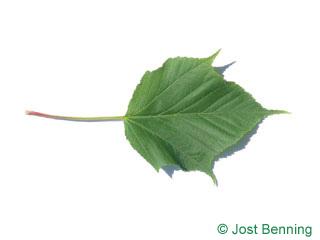 The дольчатый leaf of Клен рыжевато-жилковатый