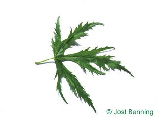 The дольчатый leaf of Клен серебристый 'Виери'
