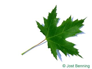The дольчатый leaf of Клен серебристый