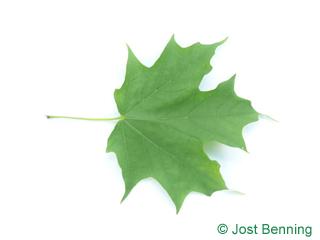 The дольчатый leaf of Клен сахарный