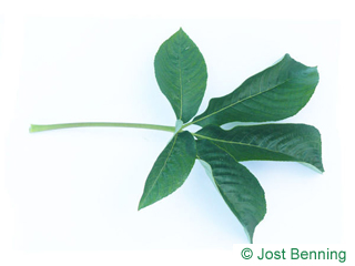 The сложный leaf of Каштан калифорнийский