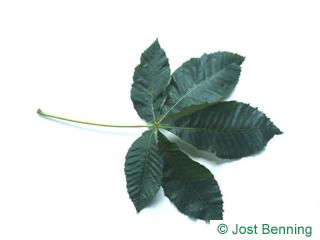 The сложный leaf of Конский каштан мясо-красный