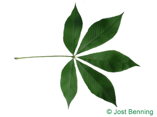 The сложный leaf of Конский каштан желтый