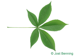 The сложный leaf of Конский каштан голый