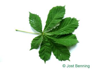 The сложный leaf of Конский каштан обыкновенный