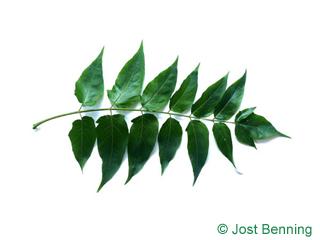 The сложный leaf of Айлант высочайший
