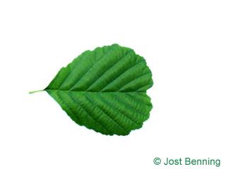 The кругловатый leaf of Ольха черная