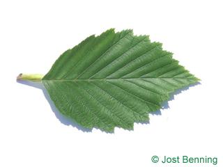 The овальный leaf of Ольха серая