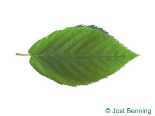 The овальный leaf of Береза желтая