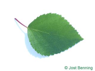 The овальный leaf of Береза вишневая