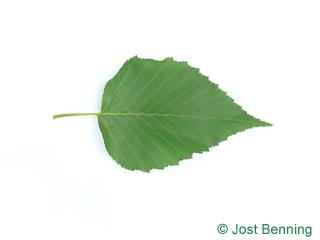 The овальный leaf of Береза Эрмана