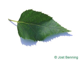 The овальный leaf of Береза бумажная