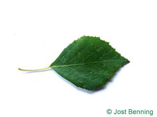 The овальный leaf of Береза повислая