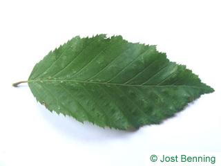The овальный leaf of Граб обыкновенный