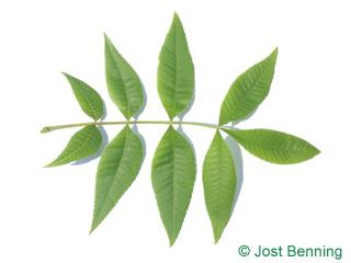 The сложный leaf of Кария голая