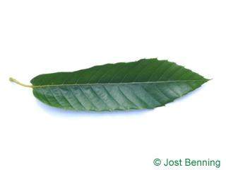 The ланцетный leaf of Каштан благородный