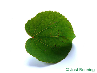 The кругловатый leaf of Багрянник японский