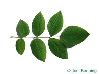 The сложный leaf of Кладрастис американский (желтый)