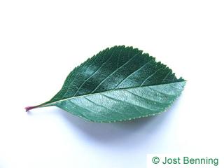 The овальный leaf of Боярышник петушья шпора