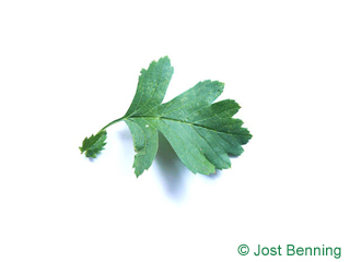 The овальный leaf of Боярышник однопестичный