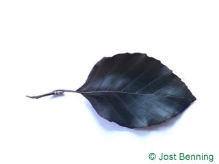 The овальный leaf of Бук лесной европейский