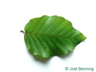 The овальный leaf of Бук европейский