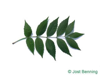 The сложный leaf of Ясень обыкновенный