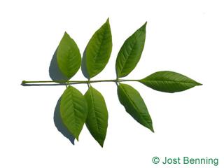 The сложный leaf of Ясень черный