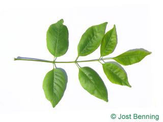 The сложный leaf of Ясень техасский