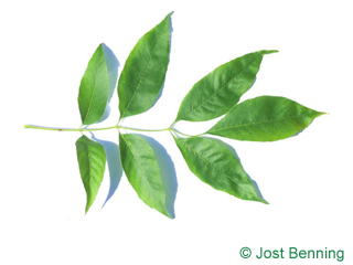 The сложный leaf of Ясень бархатный