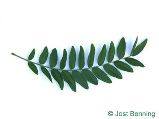 The сложный leaf of Гледичия трехколючковая