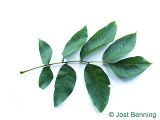 The сложный leaf of Орех грецкий