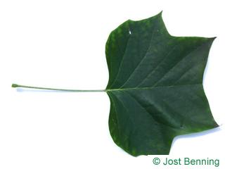 The дольчатый leaf of Лириодендрон тюльпановый