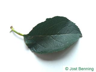 The овальный leaf of Ольха сердцевидная