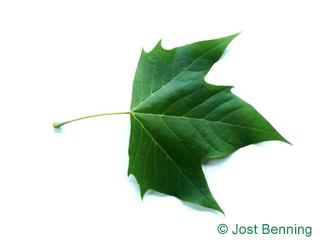 The дольчатый leaf of Платан кленолистный
