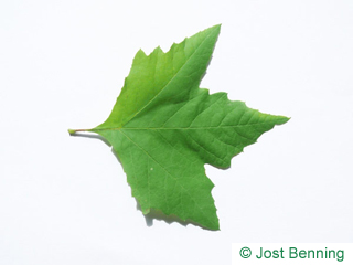 The дольчатый leaf of Платан восточный