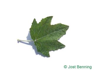 The выгнутый leaf of Тополь серебристый