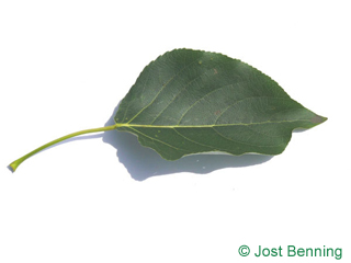 The овальный leaf of Тополь бальзамический