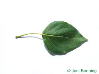 The треугольный leaf of Тополь канадский