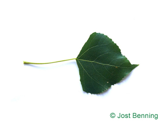 """The треугольный leaf of Тополь черный """"Италика"""""""